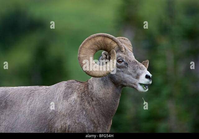 Bighorn ram (Ovis canadensis), eating grass, Logan Pass, Glacier National Park, Montana. - Stock Image