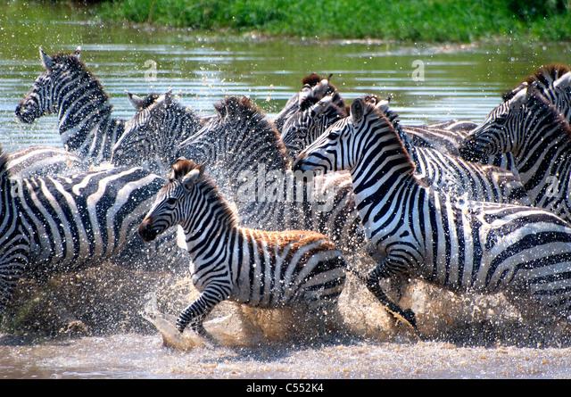 Zebras Running Through Water Zebra Running I...