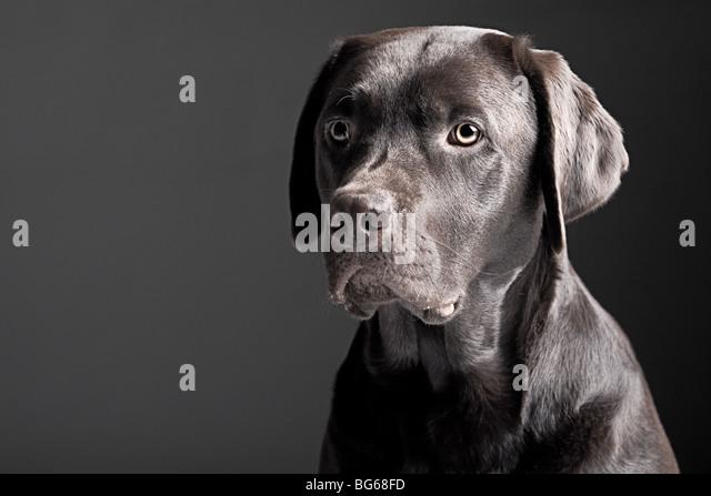 Chocolate Labrador Retriever Portrait against A Grey Background - Stock Image