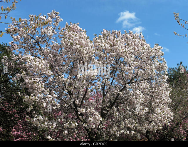 White cherry blossom tree in a garden. - Stock Image