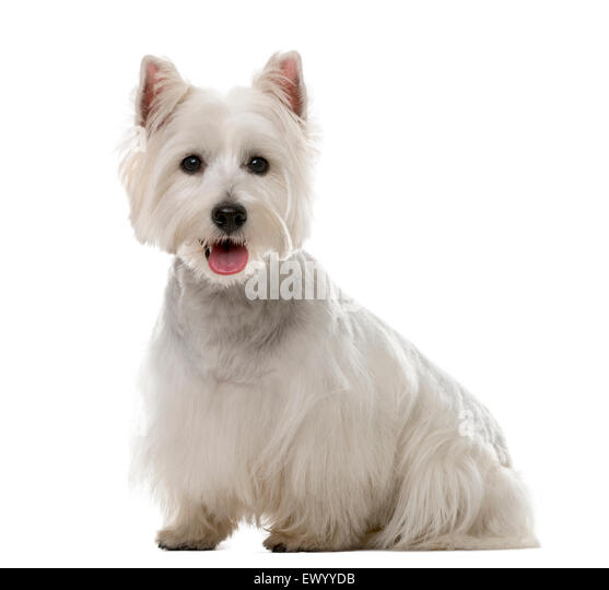 West Highland White Terrier (1 year old) in front of a white background - Stock Image