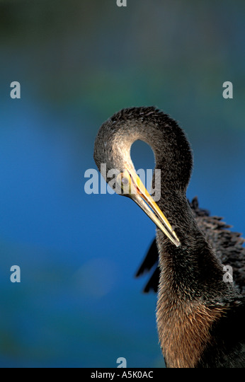 Florida Everglades National Park anhinga preening its feathers - Stock Image