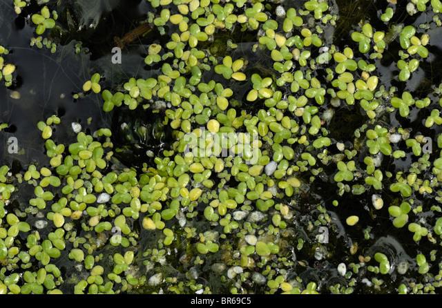 Duckweed floating stock photos duckweed floating stock for Garden pool duckweed