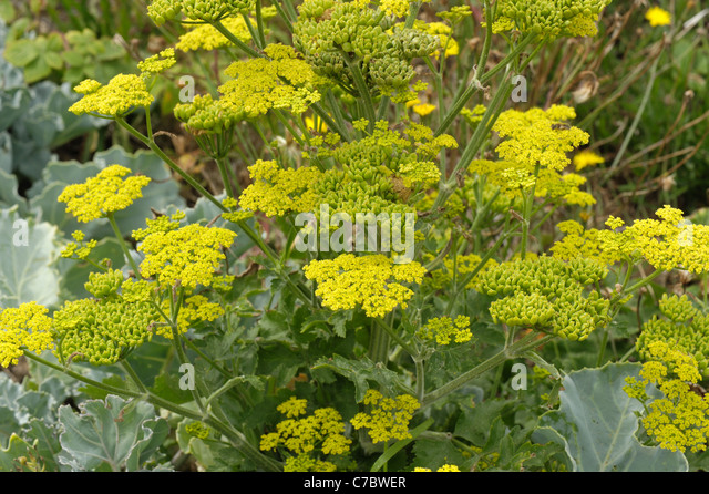 Wild parsnip (Pastinaca sativa) in flower at Chesil Beach on the Dorset coast - Stock Image
