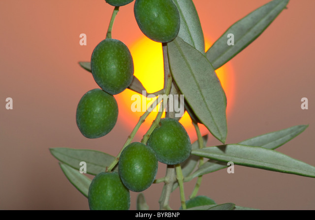 Manzanilla olives; aka Spanish olives, on the tree with the setting sun in the background / Tehama County, California, - Stock Image