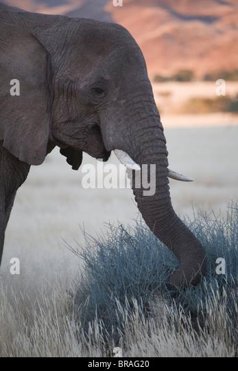 Desert elephant (Loxodonta africana), at dusk, Aba-Huab River Valley, Damaraland, Namibia, Africa - Stock Image