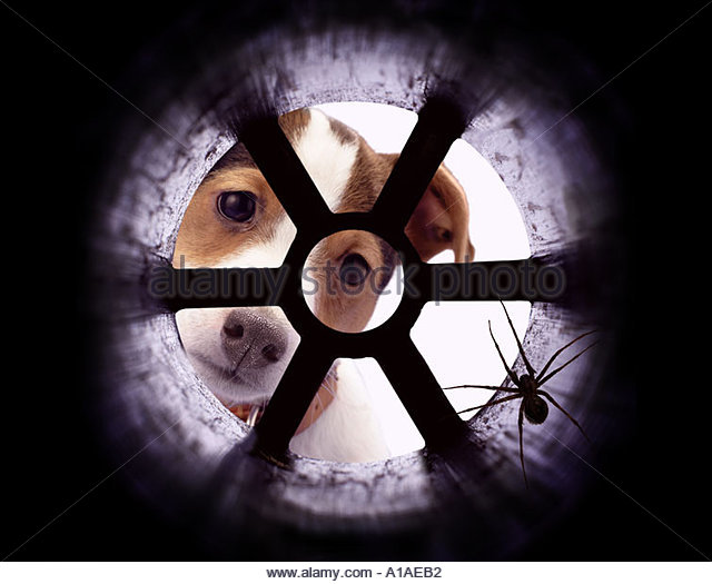Jack Russell puppy looking at spider down plug hole - Stock Image