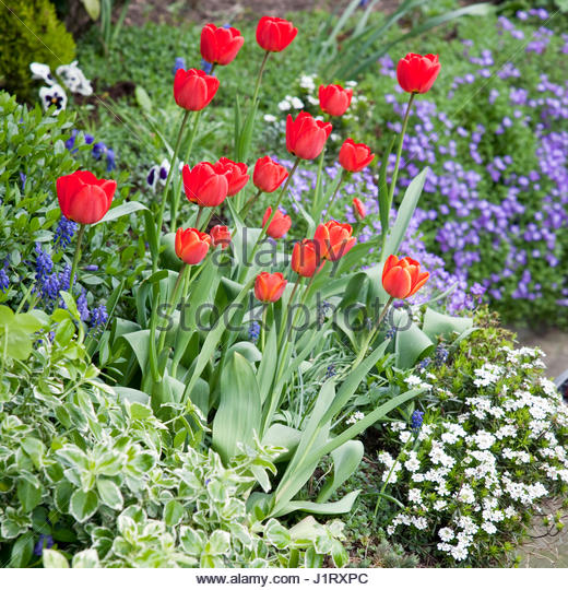 SPRING BORDER OF RED TULIPS - Stock Image