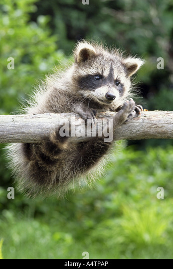 young raccoon - hanging on branch / Procyon lotor - Stock Image
