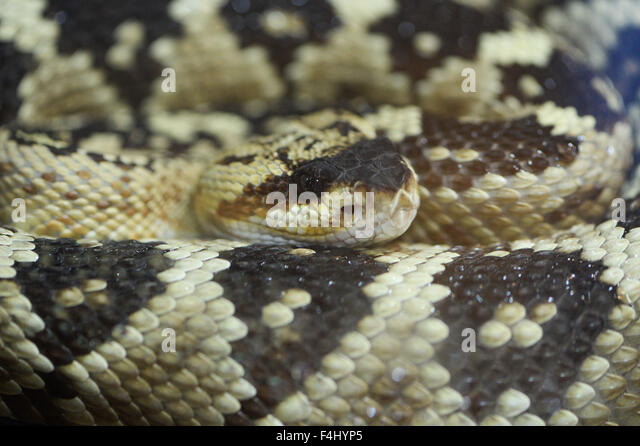 Diamondback rattlesnake fangs