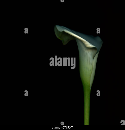 Arum lily, Zantedeschia, white flower against a black background. - Stock Image