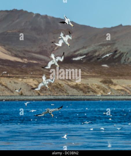 Northern Gannets diving for food, Kolgrafarfjordur fjord, Iceland. - Stock Image