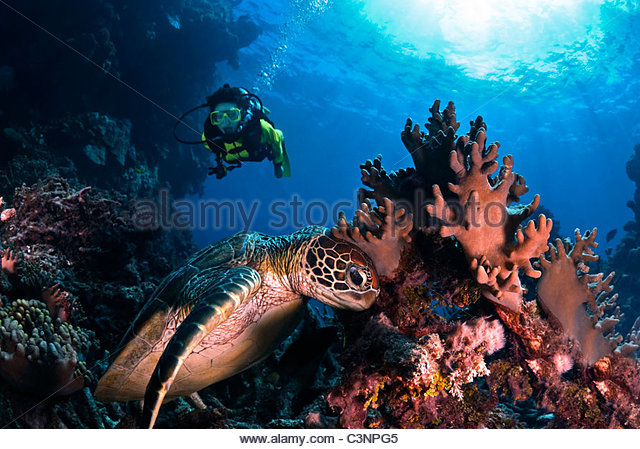 Scuba diving with seaturtles - Stock Image