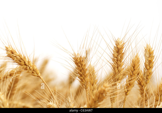 Wheat ears isolated on white. - Stock Image