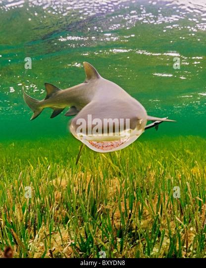Lemon Shark, Negaprion brevirostris, Key Largo, Florida, USA - Stock-Bilder