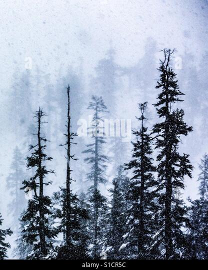 A pine forest at Lake Tahoe. - Stock-Bilder
