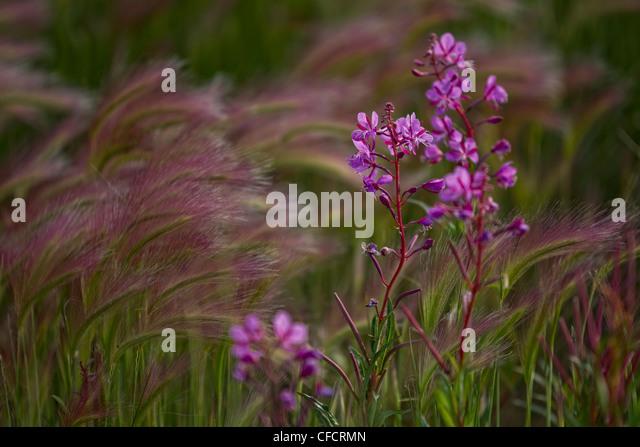 Foxtail barley (Hordeum jubatum) and fireweed (Epilobium angustifolium), Yukon. - Stock Image