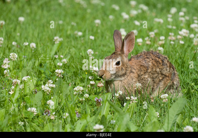 Eastern Cottontail (Sylvilagus floridanus) in a flowering meadow. - Stock Image