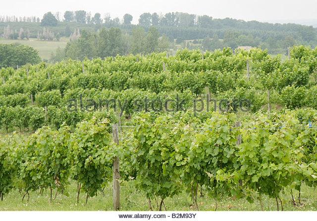 Michigan Traverse City Leelanau Peninsula Ciccone Vineyard and Winery grapes plants farm agriculture estate bottled - Stock Image