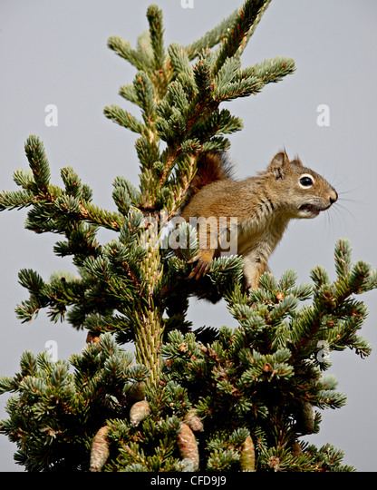 Red squirrel (spruce squirrel) (Tamiasciurus hudsonicus) in a spruce tree, Denali National Park and Preserve, Alaska, - Stock Image