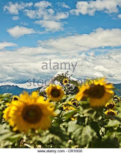 Sunflowers growing on mountainside - Stock Image