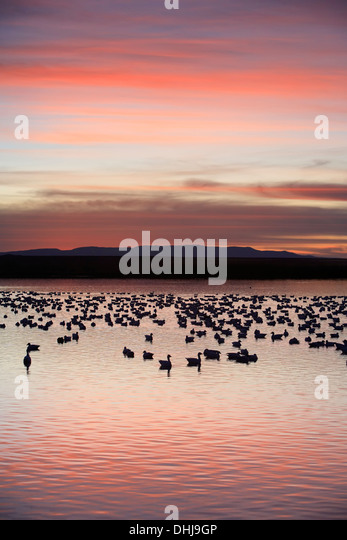 Snow geese (Chen caerulescens) in pond and mountains, Bosque del Apache National Wildlife Refuge, New Mexico USA - Stock-Bilder