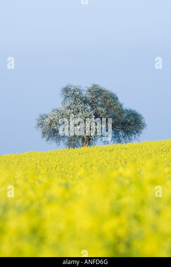 Field of canola and tree in bloom - Stock Image
