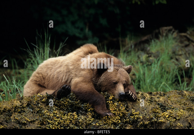 Female Grizzly bear (Ursus arctos horribilis) resting, Khutzeymateen Grizzly Bear Sanctuary, British Columbia, Canada - Stock Image