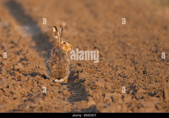 European Brown Hare (Lepus europaeus) sitting in a rut on a field. - Stock-Bilder