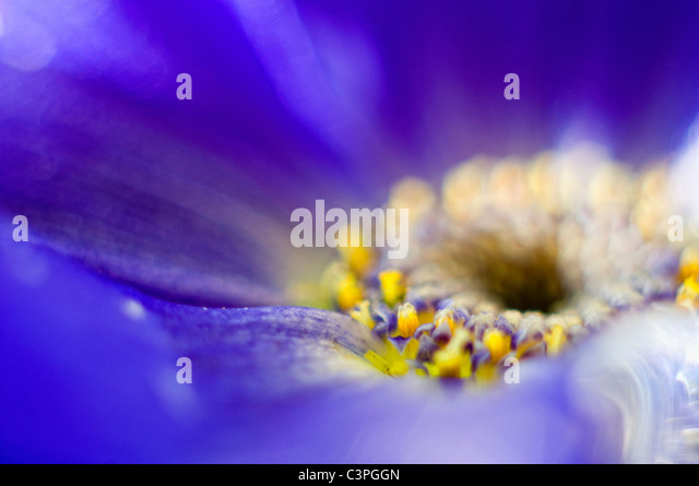 Germany, African Daisy flower (Osteospermum), extreme close-up - Stock Image