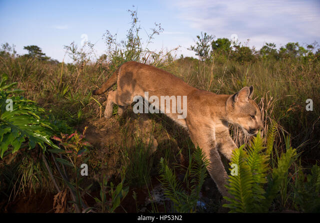 A large Puma cub from Central Brazil jumping over a small creek - Stock Image