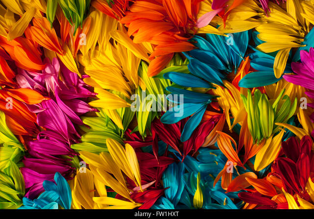 Multicolored daisy petals close-up - Stock Image