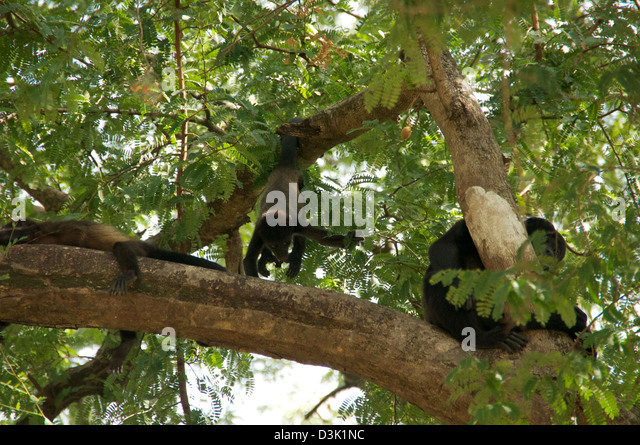 Howler-Monkey hanging and laying in trees in Costa Rica - Stock Image