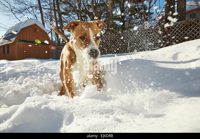 Dog Playing in Snow - Stock Image