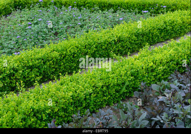 boxwood buxus sempervirens stock photos boxwood buxus. Black Bedroom Furniture Sets. Home Design Ideas