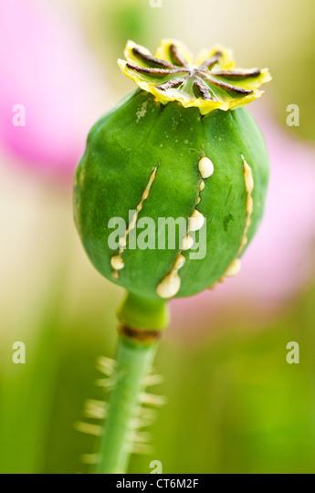 Poppy with milk - Stock Image
