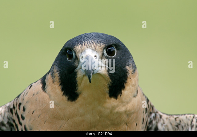 Peregrine Falcon Captive - Stock-Bilder