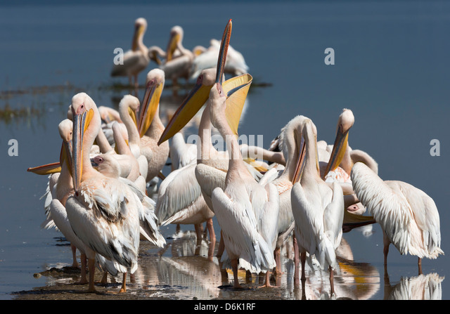 Great white pelicans (Pelecanus onocrotalus), Lake Nakuru National Park, Rift Valley, Kenya, East Africa, Africa - Stock Image