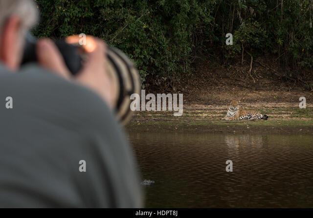 A tourist photographs a Jaguar in the Pantanal with a big lens - Stock Image