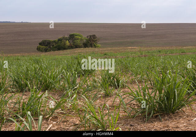 A tiny forest fragment in the middle of a sugar cane field - Stock Image