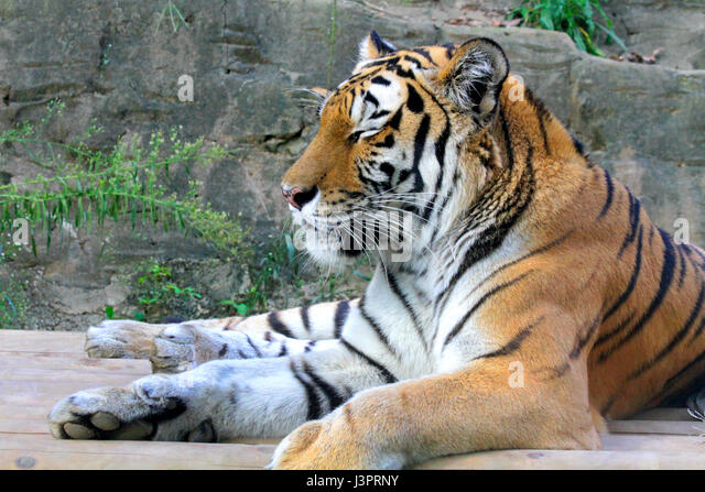 Siberian Tiger Park Stock Photos & Siberian Tiger Park Stock Images - Alamy