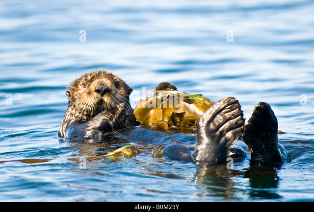 USA Alaska Sea Otter resting on kelp bed in ocean - Stock Image