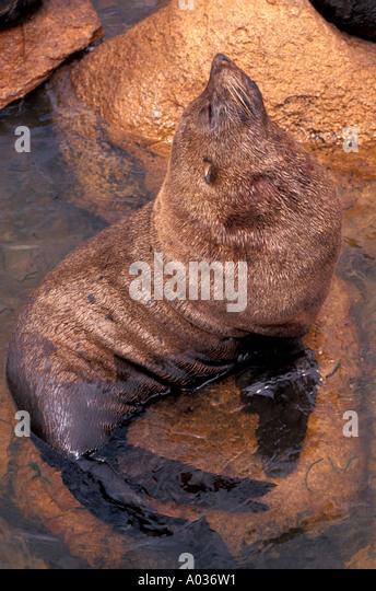 Uruguay isla de lobos nature reserve sea lion pup portrait - Stock Image