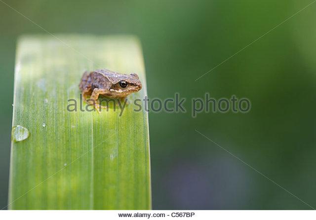 Rana Temporara. Garden froglet on a flag iris leaf - Stock Image