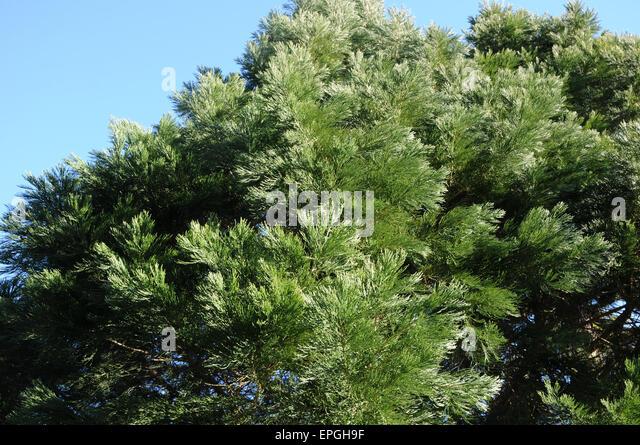 Giant redwood - Stock Image