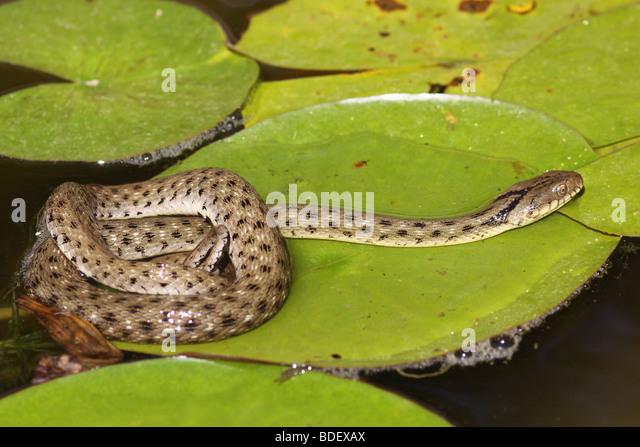 Dice snake (Natrix tessellata) is a European non-venomous snake - Stock Image