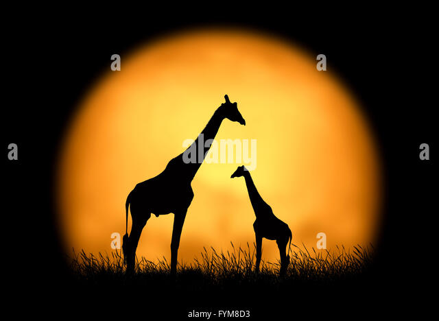 Silhouette giraffe on the background of sunset. Large sun on a dark background - Stock Image