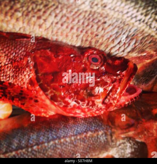 Red grouper fish - Stock Image