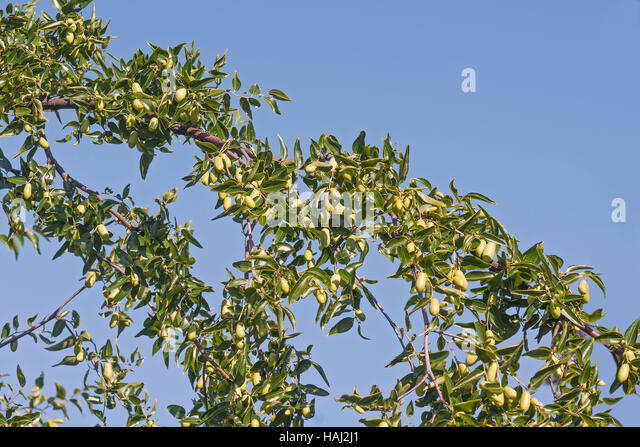 ziziphus tree stock photos amp ziziphus tree stock images