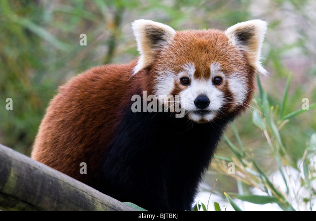 Red Panda, Beauval Zoo on a cold winter day. - Stock Image